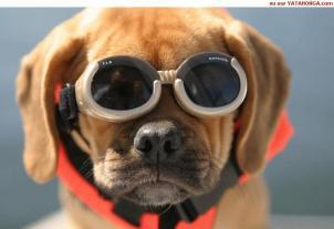 doggie goggles