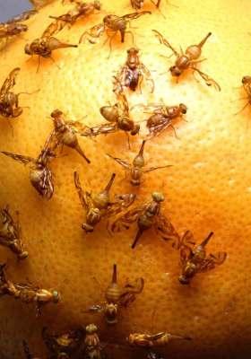 mexican fruit flies