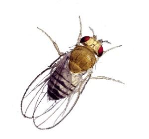 fruitfly21
